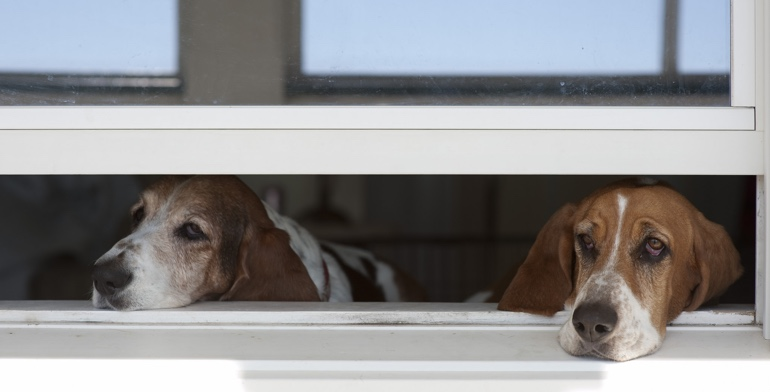 Beagles look out open window without window treatment in Chicago.